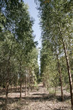Eucalyptus plantation Stock Photo