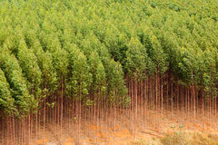Eucalyptus plantation. In Brazil - celulose royalty free stock image