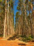 Eucalyptus plantation Royalty Free Stock Photos