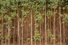 Eucalyptus plantation Stock Photos
