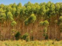 Eucalyptus plantation Stock Image