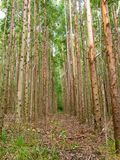 Eucalyptus plantation in Brazil - trees farming plantation cellulose. Eucalyptus farming tree plantation in Brazil for paper production and firewoods royalty free stock photos