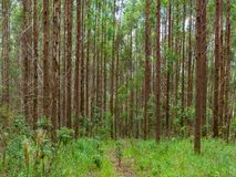 Eucalyptus plantation in Brazil - trees farming plantation cellulose. Eucalyptus farming tree plantation in Brazil for paper production and firewoods stock images