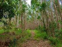Eucalyptus plantation in Brazil - trees farming plantation cellulose. Eucalyptus farming tree plantation in Brazil for paper production and firewoods stock photo
