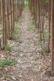 Eucalyptus Plantation 1 Royalty Free Stock Photo
