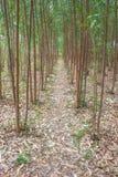 Eucalyptus Plantation 2 Stock Image