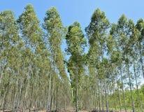 Eucalyptus plantation Stock Photo