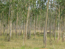 Eucalyptus plantation and trees Stock Images