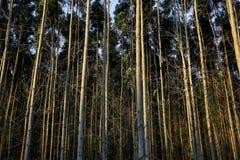 Eucalyptus plantation Stock Photography