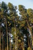 Eucalyptus plantation Stock Images