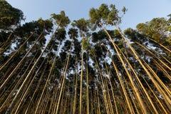 Eucalyptus plantation Royalty Free Stock Photography