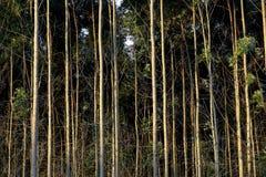 Eucalyptus plantation Royalty Free Stock Image