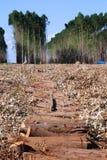 Eucalyptus plantations Stock Image