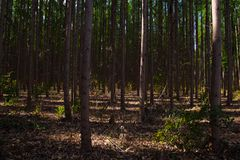 Eucalyptus plantantion in Três Marias, Minas Gerais. Eucalyptus plantations are very common in Brazil, where the native forest is devastated to give way to stock photography