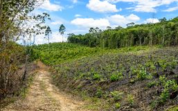 Eucalyptus production forest in Minas Gerais , Brazil. A dirt road in the eucalyptus production forest in Minas Gerais , Brazil stock photography