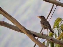 Eucalyptus Resident Bird Royalty Free Stock Images