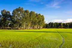 Eucalyptus and rice Stock Image