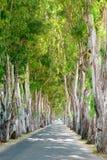 Eucalyptus road. Rhodes, Greece Stock Photos