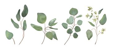 Eucalyptus seeded silver dollar tree leaves designer art, foliage, natural branches elements in watercolor rustic style set