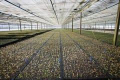 Eucalyptus seedling Royalty Free Stock Photo