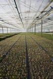 Eucalyptus seedling Stock Images