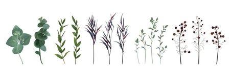 Eucalyptus seminato, agonis blu timo, progettista a della bacca dell'asparago Immagine Stock