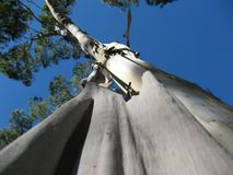 An eucalyptus shedding its bark stock photo