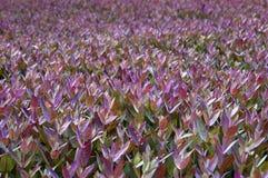 Eucalyptus sheets Stock Image