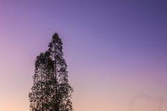 Eucalyptus. Silhouette of eucalyptus tree on the dawn Royalty Free Stock Images