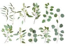 Free Eucalyptus Silver Dollar Greenery, Gum Tree Foliage Natural Leaves & Branches Designer Art Tropical Elements Set Bundle Photo. Ima Royalty Free Stock Image - 154158326
