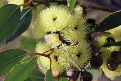 Eucalyptus Stricklandii Stock Fotografie