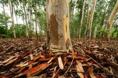 eucalyptus thailand Arkivfoton