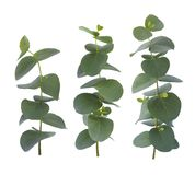 Eucalyptus three twigs with green leaves isolated on white background.  royalty free stock image