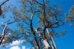 Eucalyptus tree Stock Image