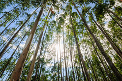 Eucalyptus tree against sky Royalty Free Stock Photo