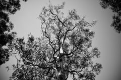 Eucalyptus Tree. An Australian Eucalyptus tree in grayscale Royalty Free Stock Images