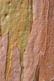 Eucalyptus tree bark. Closeup details of the bark of a Eucalyptus tree Royalty Free Stock Photo