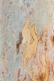 Eucalyptus tree bark Royalty Free Stock Photography