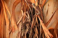Eucalyptus tree bark Stock Photography
