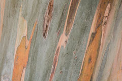 Eucalyptus tree bark close up Royalty Free Stock Photo
