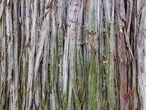 Eucalyptus tree bark surface stock photo