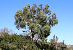 Eucalyptus Tree. A beautiful eucalyptus tree in the Southern California landscape Stock Images
