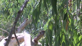 Eucalyptus tree branch and leaves blowing in the wind. Up close and personal with a Eucalyptus tree.  These leaves are typical of those on all Eucalyptus trees stock video footage