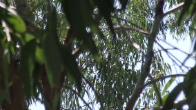 Eucalyptus tree branches against the sky. Up close and personal with a Eucalyptus tree.  These leaves are typical of those on all Eucalyptus trees that are most stock footage