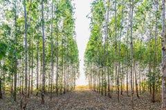Eucalyptus tree field Royalty Free Stock Image