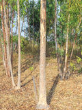 Eucalyptus tree forest. Plants for paper industry Royalty Free Stock Photos