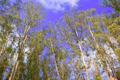Eucalyptus. Stock Photos