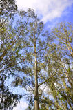 Eucalyptus. Royalty Free Stock Photo