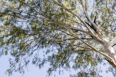 Eucalyptus tree. In the garden Stock Photos