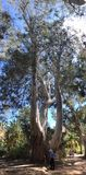 Eucalyptus tree Royalty Free Stock Photos